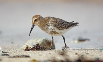 Photographing Waders especially Dunlin and Turnstone up close of Bardsey island in Wales.