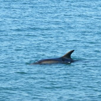 Dolphins! Watching a pod of Bottlenosed Dolphins leaping and playing off Cardigan Bay