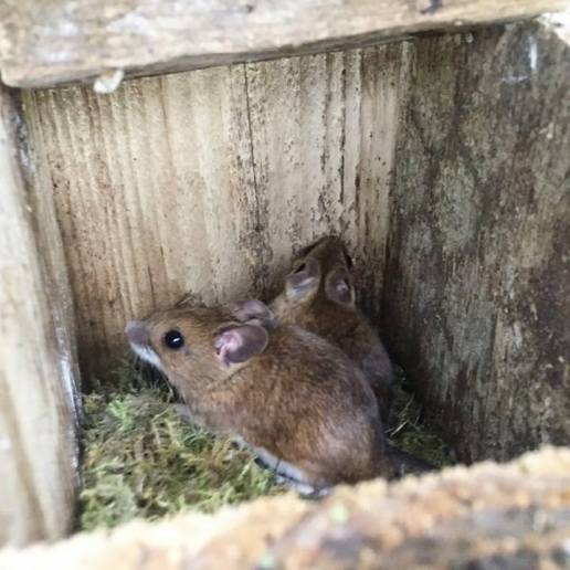 Wood Mice living in a nestbox!'17
