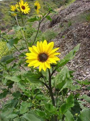 commonsunflower9.jpg