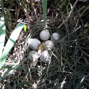 Whiteye nest SL06-17