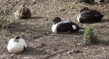2 Intersex Females with a Female and Male Eider
