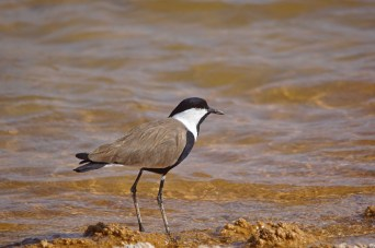 Spur-Winged Plover was one of the commonest waders in Eilat, Israel