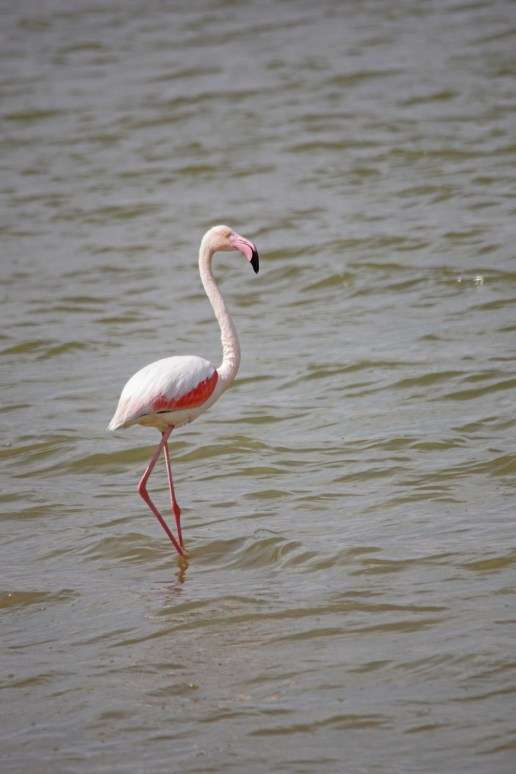 Watching flocks of Greater Flamingos in Israel!
