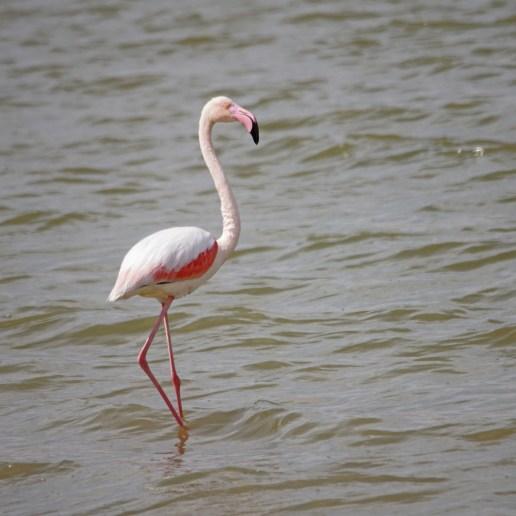 Watching flocks of Greater Flamingos in Israel!