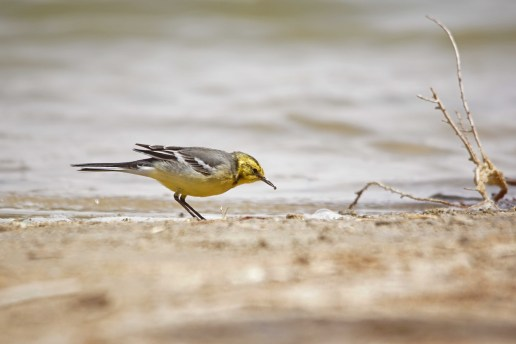 Citrine Wagtail - an amazing bird in Israel