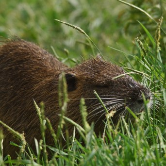 Numerous Coypu in the North of Israel