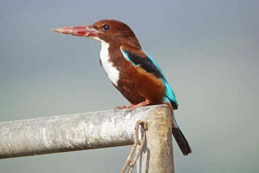 The amazing diversity of Kingfishers found in Israel!