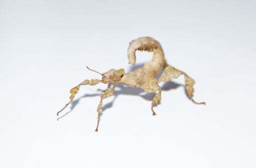 Cosmo - Macleay's Spectre Stick Insect